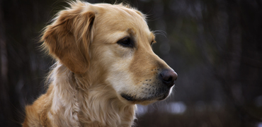 Thumb_golden_retriever1