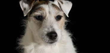 Thumb jack russell terrier4