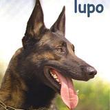 Lupo (Pastor Belga)