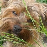 Konrad (Yorkshire Terrier)