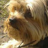Tina (Yorkshire Terrier)