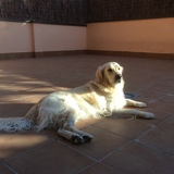 Olmo (Golden Retriever)