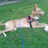 Kasia (Andalusischer Podenco)