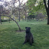 Darcy (Kerry Blue Terrier)