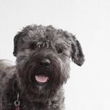 Thilo (Flandrischer Treibhund)