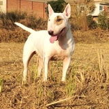 Lola (Bull Terrier)