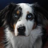 Blue (Australian Shepherd)