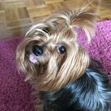 Bimba - Yorkshire Terrier