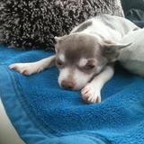 Linus (Chihuahua)