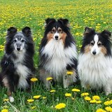 Monty, Gerry & Calli (Sheltie)