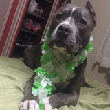 Thor (American Staffordshire Terrier)