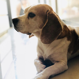 Cooper (Beagle)