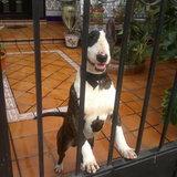 Darco (Bull Terrier)
