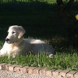 India (Golden Retriever)