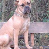 Carlos (Englische Bulldogge)