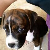 Dana (Foxhound Americano)