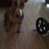 Dama (Bull Terrier)