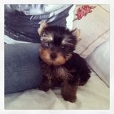 Timmy (Yorkshire Terrier)