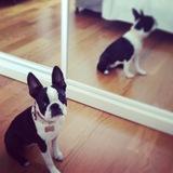 Coco (Boston Terrier)