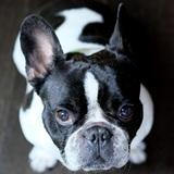 Max (Bulldog Francés)
