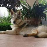 Calliope (Perro Lobo Checoslovaco)