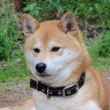 Shiro (Shiba Inu)