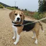Jonah - Beagle