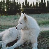 Mohican (Malamute De L'alaska)