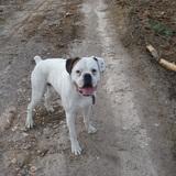 Atila (Boxer)