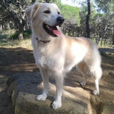 Perla (Golden Retriever)