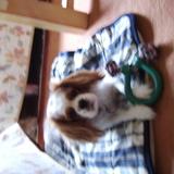 Bella (King Charles Spaniel)