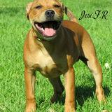Goro (Staffordshire Bull Terrier)