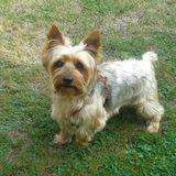 Lukas (Yorkshire Terrier)