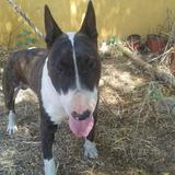 Buly (Bull Terrier)