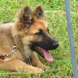 Kira (Deutscher Schäferhund)