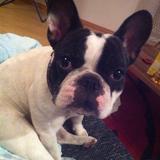 Mascha (Französische Bulldogge)