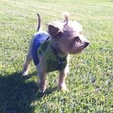 Mel (Yorkshire Terrier)