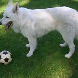 Hunter (Weisser Schweizer Schäferhund)