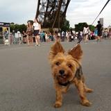 Teddy (Yorkshire Terrier)