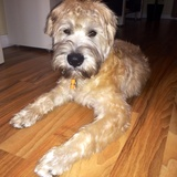 Jackson (Soft Coated Wheaten Terrier Irlandés)