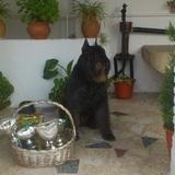 Alf (Boyero De Flandes)