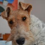 Bonita (Fox Terrier De Pelo Duro)