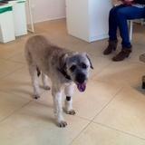 Franka (Katalanischer Schäferhund )