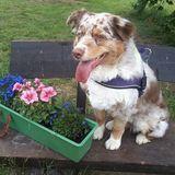 Daisy (Australian Shepherd)