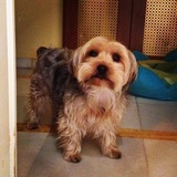 Lilo - Yorkshire Terrier