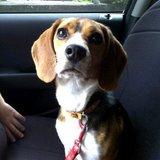 Cleo - Beagle