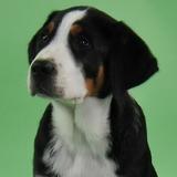 Milow (Grosser Schweizer Sennenhund)