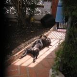 Hira (Staffordshire Bull Terrier)