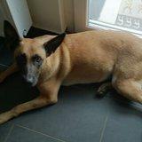 Abby (Belgischer Schäferhund)