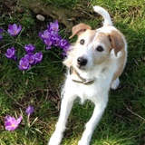 Monty (Parson Russell Terrier)
